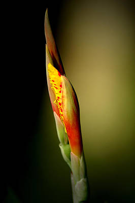 Photograph - Flowerbud by David Weeks