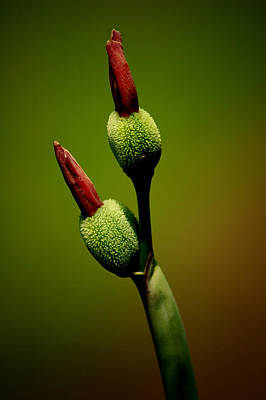 Photograph - Flowerbuds by David Weeks