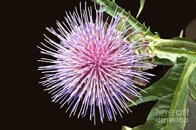 Flowering Artichoke Top View Art Print by Byron Varvarigos