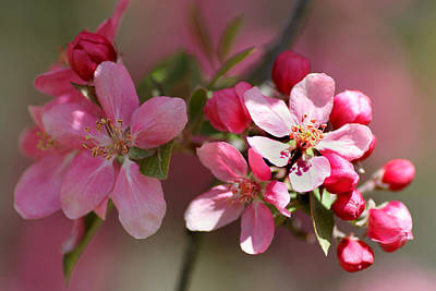 Flowering Crabapple Detail Art Print by Mark J Seefeldt