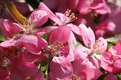 Photograph - Flowering Crabapple In Bloom by Mark J Seefeldt