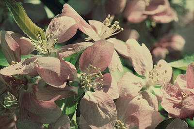 Photograph - Flowering Crabapple Muted by Mark J Seefeldt