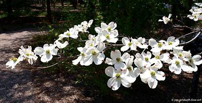 Photograph - Flowering Dogwood by Jim Goldseth