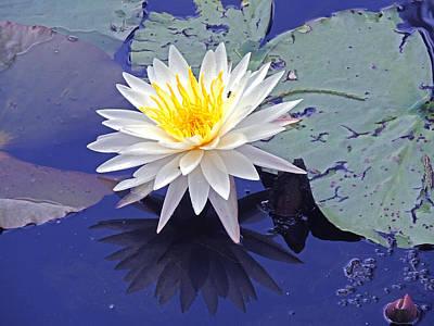 Flowering Lily-pad- St Marks Fl Art Print