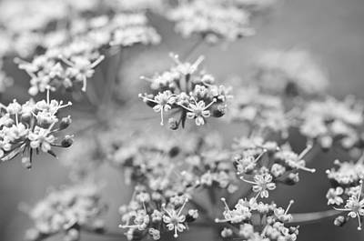 Photograph - Flowering Parsley by Margaret Pitcher