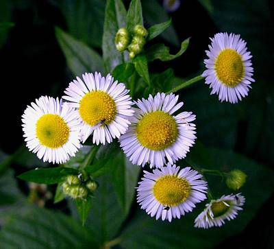 Photograph - Flowers Daisy Cluster by William OBrien