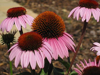 Photograph - Coneflowers by Megan Cohen