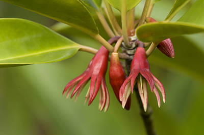 Kosrae Island Photograph - Flowers Of Bruguiera Mangrove by Tim Laman