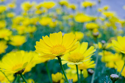 Photograph - Flowers Of Tanacetum  by Michael Goyberg