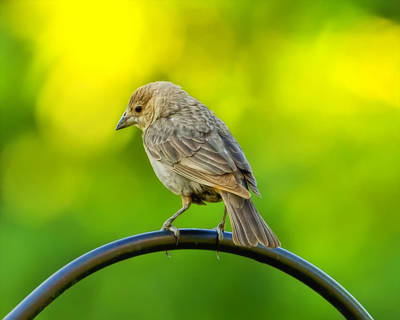 Birdseed Photograph - Flowing Female Cowbird by Bill Tiepelman