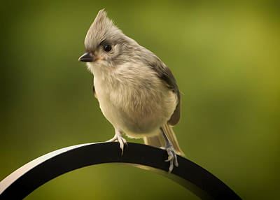 Titmouse Digital Art - Flowing Tufted Titmouse by Bill Tiepelman
