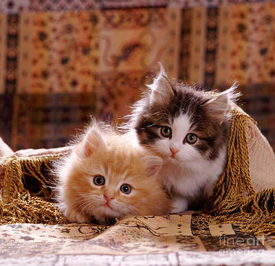 Animal Portraiture Photograph - Fluffy Ginger And Tabby-and-white Kitten by Jane Burton