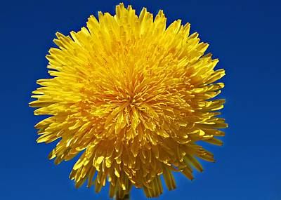 Photograph - Fluffy Little Dandelion by Marilynne Bull