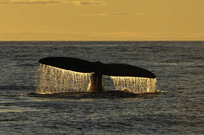 Flukes Of A North Atlantic Right Whale Art Print by Brian J. Skerry