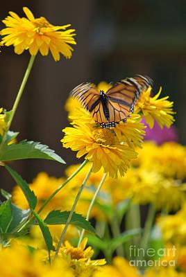Fluttering Monarch Butterfly Art Print by Lila Fisher-Wenzel