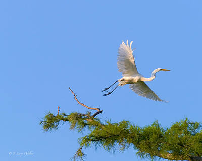 Cypress Swamp Digital Art - Fly Away Egret by J Larry Walker