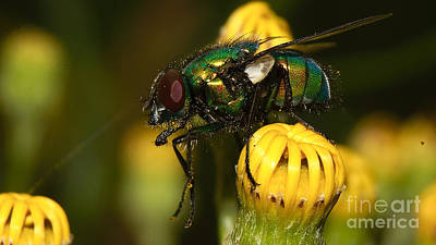 Photograph - Fly Pollinating by Mareko Marciniak
