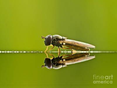 Butterfly Prey Photograph - Fly Reflection by Odon Czintos