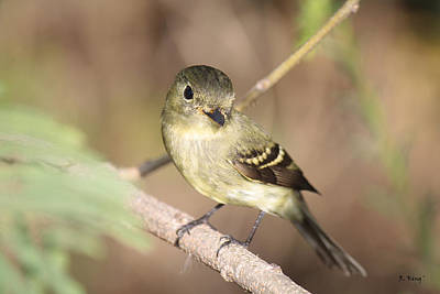 Photograph - Flycatcher On A Branch by Roena King