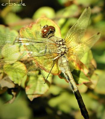Photograph - Dragonfly by Chris Berry