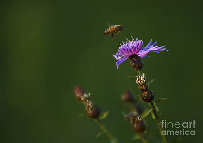 Photograph - Flying Bee by JT Lewis