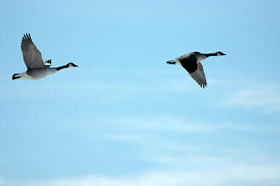 Photograph - Flying Canada Geese by Rafael Figueroa