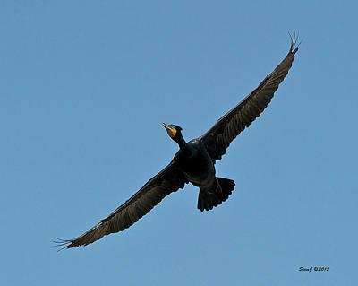 Flying Cormorant Art Print by Stephen  Johnson