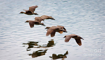 Bird Photograph - Flying Ducks by Johan Larson