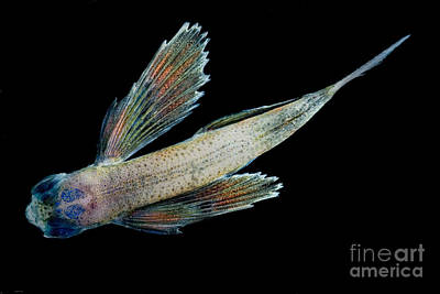 Photograph - Flying Fish by Dante Fenolio