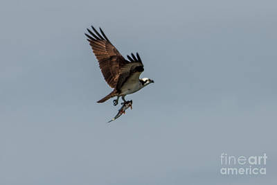 Photograph - Flying Fish by Robert Bales