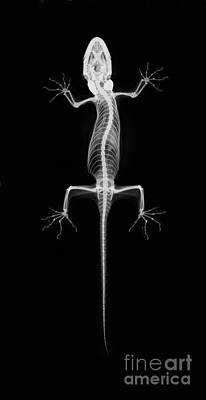 Gekko Photograph - Flying Gecko X-ray by Ted Kinsman
