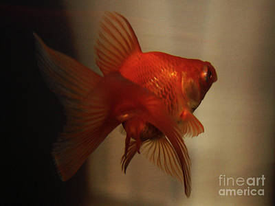 Photograph - Flying Goldfish by Mark Holbrook