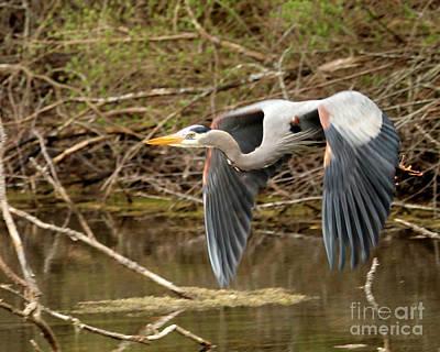 Flying Great Blue Heron Art Print