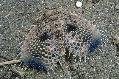 Bed Spread Photograph - Flying Gurnard Displaying by Matthew Oldfield