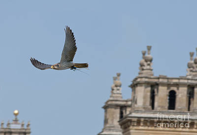 Flying Bird Photograph - Flying Over Blenheim Palace by Andrew  Michael