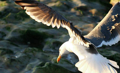 Print featuring the photograph Flying Seagull by Michael Rock