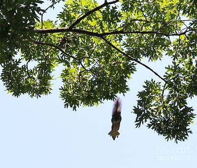 Photograph - Flying Squirrel by Pamela Walrath