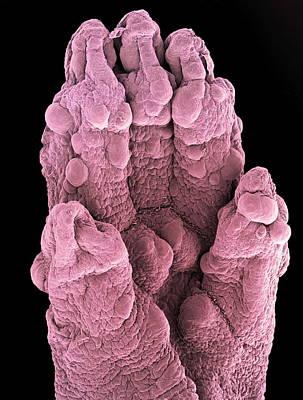 Foetal Mouse Foot, Sem Art Print
