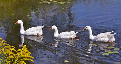 Geese Photograph - Follow Me by Shirley Mailloux