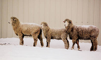 Sheep Photograph - Follow The Leader by Linda Mishler