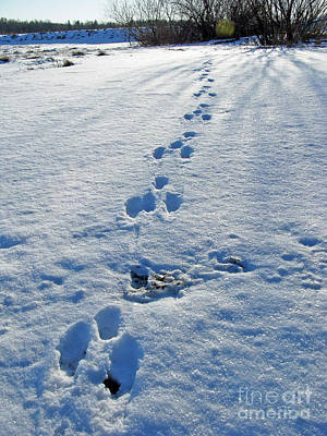 Photograph - Footprints In The Snow. Bunny. by Ausra Huntington nee Paulauskaite