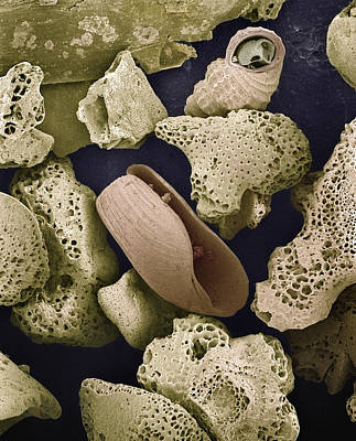 Colorized Image Photograph - Foraminiferans Molluscs And Bryozoans Sem by Albert Lleal