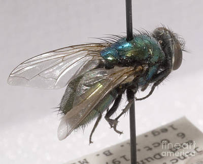 Evidence Of Life Wall Art - Photograph - Forensic Helpers, Green Blow Fly by Science Source