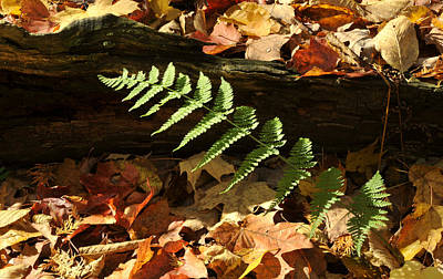 Photograph - Forest Fern by Douglas Pike