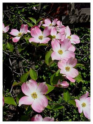 Forever Dogwood Art Print by Frank Wickham
