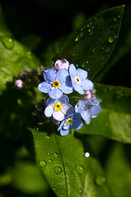 Forget Me Not Art Print by Ralph A  Ledergerber-Photography
