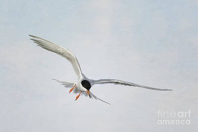 Forster's Tern Upon Cirrus Skies Art Print