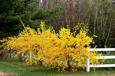 Forsythia In Bloom Art Print
