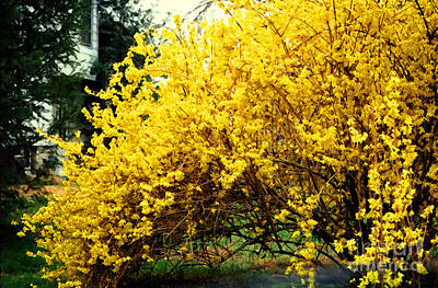 Photograph - Forsythia by Susan Stevenson
