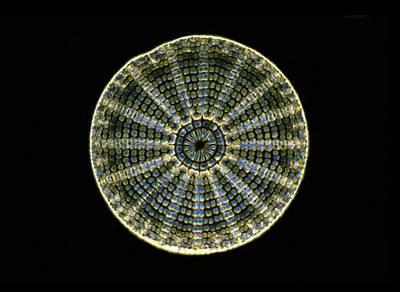 Fossil Diatom, Light Micrograph Art Print by Frank Fox